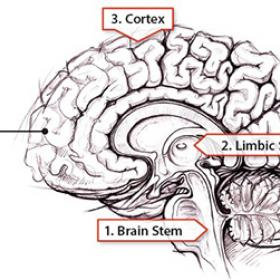 image of the brain showing the brain stem, limbic system, and cortex