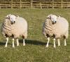 twin sheep in a field